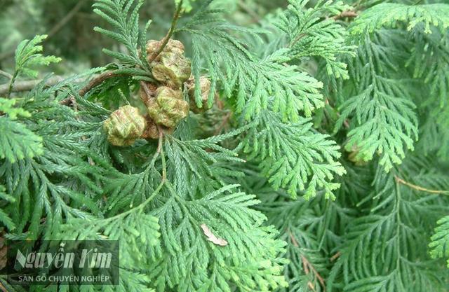 đặc điểm của gỗ pơ mu