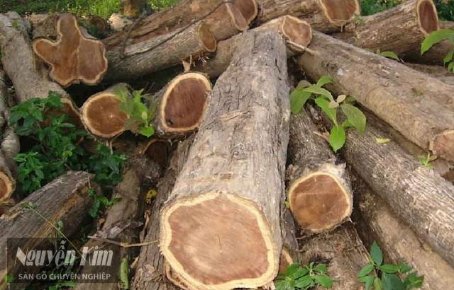 đặc điểm của gỗ teak