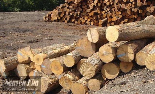 đặc tính của gỗ tràm bông vàng