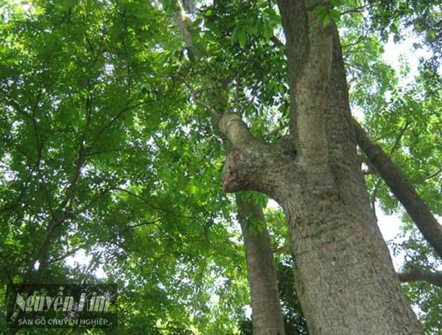 giới thiệu về gỗ hương nam phi