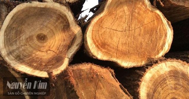 giới thiệu về gỗ tràm bông vàng