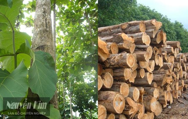 gỗ teak thuộc nhóm mấy